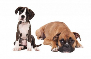Boxer-puppy-and-adult-dog-on-white-backround